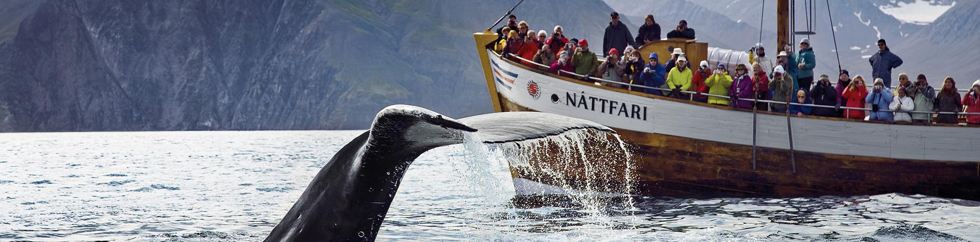 Iceland holiday deals: Whale watching, Húsavik, north Iceland.